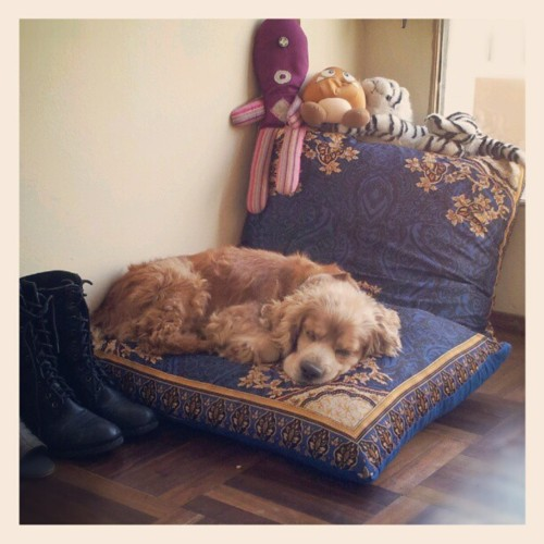 kurobaralice:Sleeping one #boko #dog #sleeping #cocker...