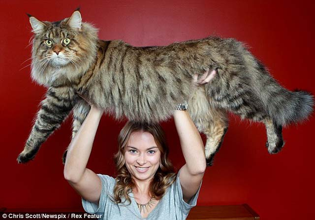 Este sí es el gato más grande del mundo (pesa 10 kilos)